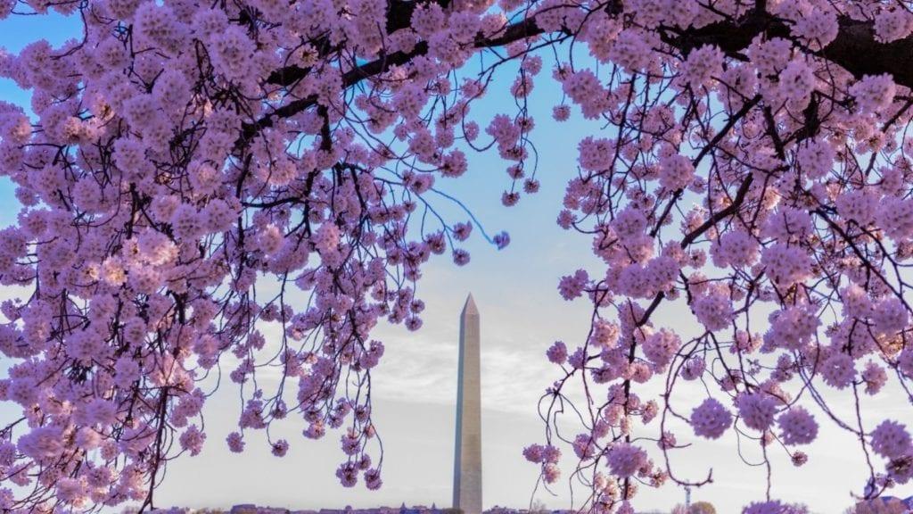 Cherry blossoms in Washington, DC (Photo: @singh via Twenty20)