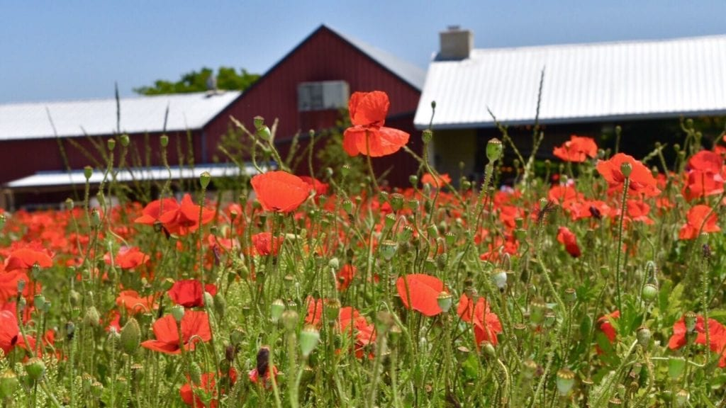 red poppies blooming near a barn in Fredericksburg, Texas, one of the best vacation spots for couples