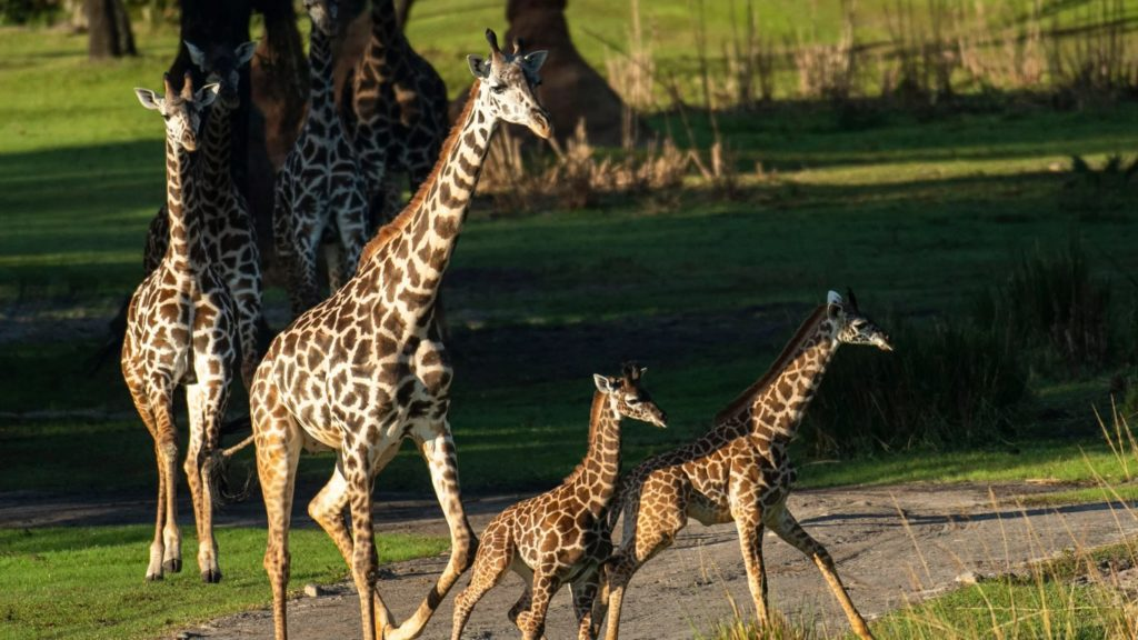 Galloping adult and baby giraffes at Disney's Animal Kingdom, an amusement park for kids that toddlers will love
